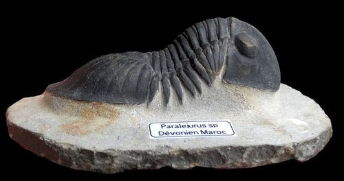 Paralejurus sp